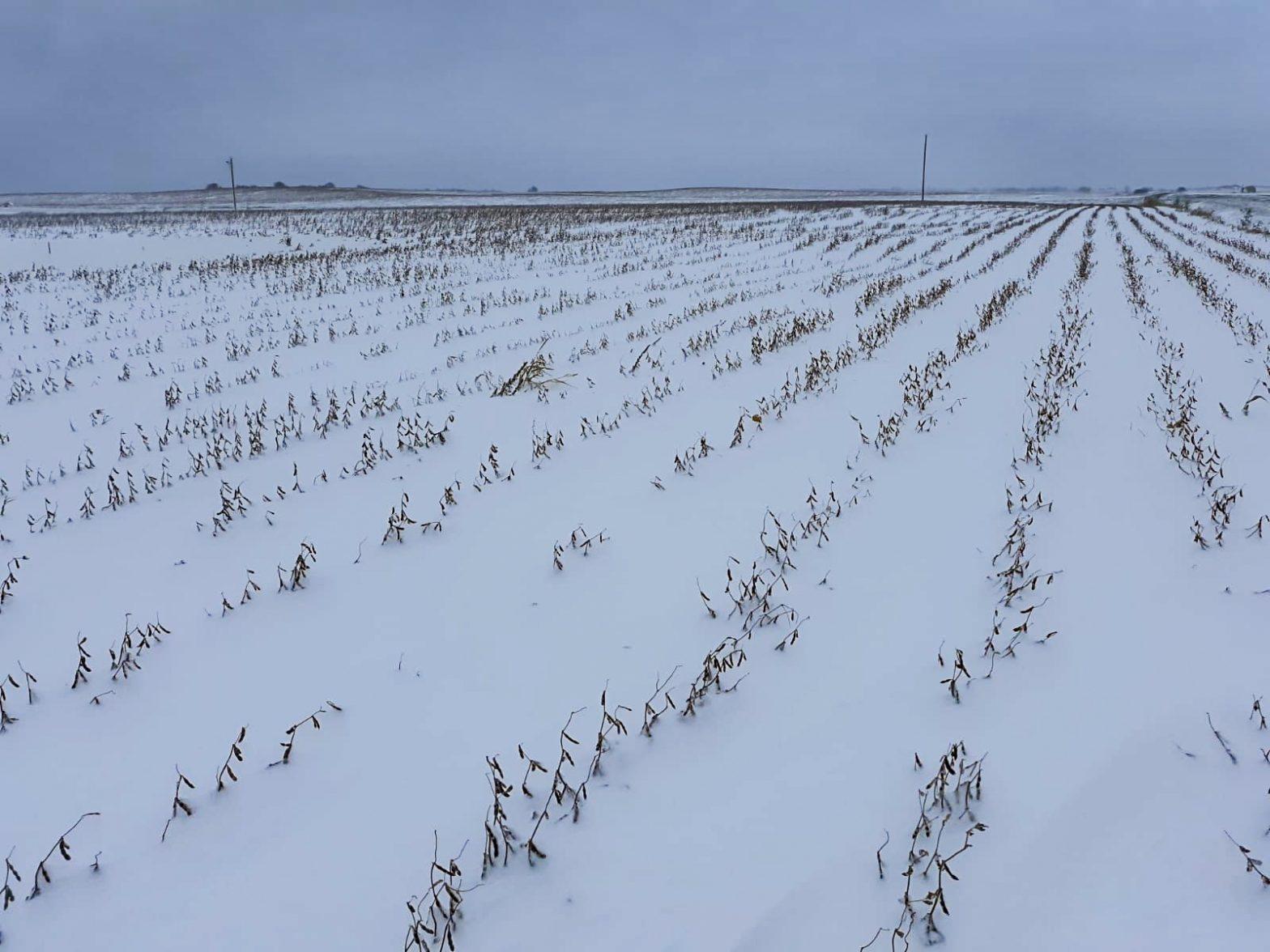 Soja pronta para colheita fica enterrada na neve depois de nevascas que atingiu vários estados dois Estados Unidos