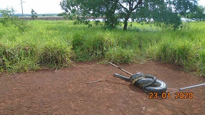 Polícia Militar Ambiental de Cassilândia captura sucuri de 7 metros em sala de máquina de usina hidrelétrica
