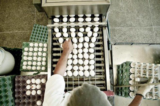 Organização atua na gestão de recursos para promover ações de sanidade avícola em MS
