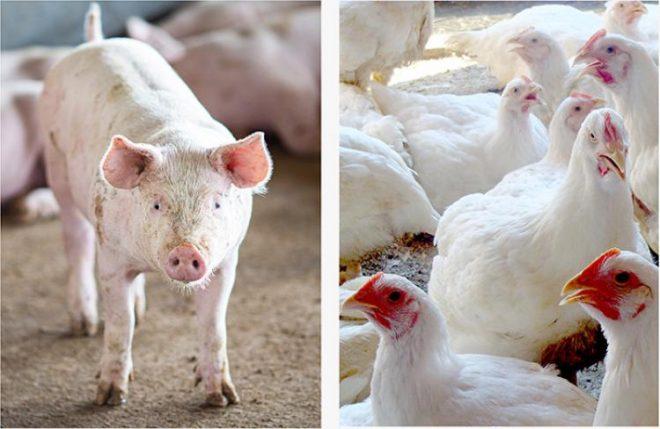 Em MS, a projeção para o fechamento do ano é de alta para produção e abate de aves e suínos