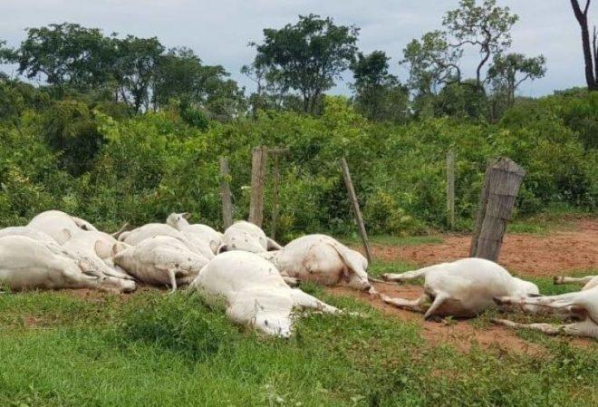 17 cabeças de gado morrem eletrocutados após queda de rede elétrica em fazenda em MS